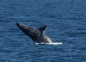 Whale Watching california_gray_whale